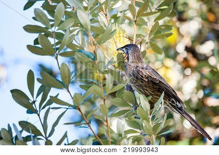 Red Wattlebird perched among red wattles in Kings Park, Perth,