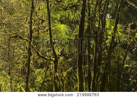 background: shady rainforest, lit by the sun, interlacing of branches, foliage and mossy trunks