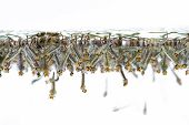 Mosquito larvae in water on white background poster