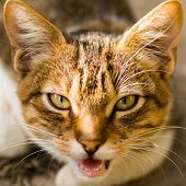 Animal portrait of meowing red tabby domestic cat. poster