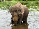 A lone female asian elephant in the water poster
