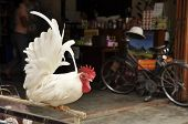 Bantam is very tame. Been raised independently in Thailand. poster
