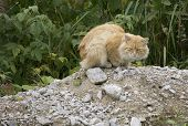 Rough angry ginger tom cat sitting outside on a town garden shed roof. Domestic cat outdoors. poster