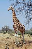 Vertical image of a desert giraffe looking left in Niger poster