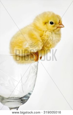One chicken in bocal isolated on white background