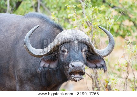 A Cape Buffalo, Syncerus Caffer, Looking At The Camera