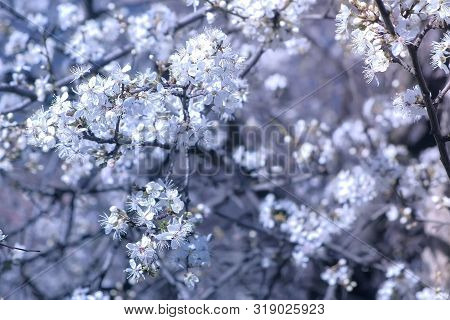 Beautiful Small White Flowers Cover Tree Branches On White Blur Tree Background, Closeup View.