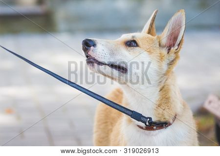 Young Dog Of Breed A Husky (laika) On A Leash. Closeup Portrait Of Dog In Profile