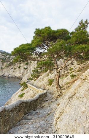 Lonely Crimean Pine On Golitsyn Trail On Cape Kapchik From Blue Bay (dailymanna Or Imperial) On A Cl
