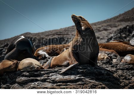 California Sea Lions (zalophus Californianus) Sunbathing On The Rocks Of Isla Coronado. Baja Califor