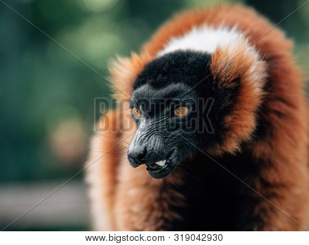 angry red ruffed lemur in rainforest