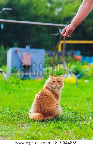 Lovely Thoroughbred Redhead Kitten. Breed Kurilian Bobtail. Hypoallergenic Breed Of Cats. Eating Shr