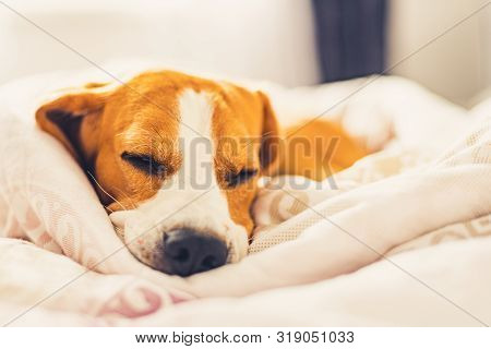 Beagle Dog Snuggled Up And Asleep In Human Bed.