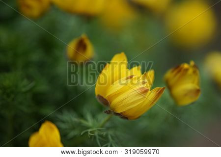Yellow Flowers Adonis Vernalis In The Spring Garden
