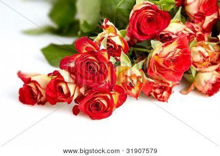 roses in a bunch isolated on a white background with space for text