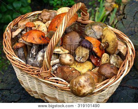 An Autumn Mashroom Season And Picking. Wicker Basket With Edible Mushrooms. Boletus, White And Polis