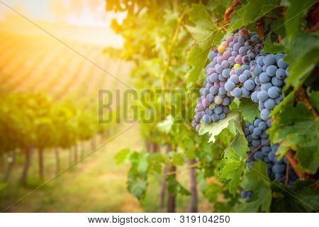 Lush Wine Grapes Clusters Hanging On The Vine.