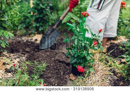 Woman Gardener Transplanting Roses Flowers From Pot Into Wet Soil. Farmer Digging Hole. Summer Garde