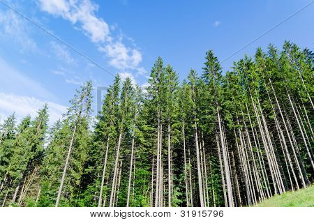 pine forest under cloudy blue sky in mountain Carpathians