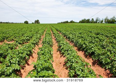 Rows of young potato plants on a sunny afternoon