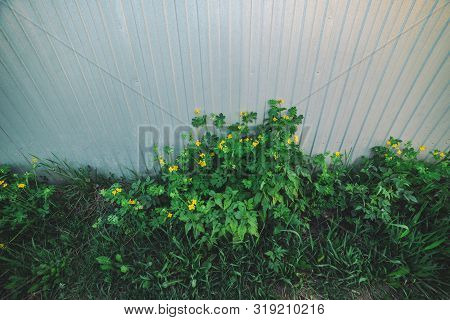Beautiful Small Yellow Flowers Of Celandine Close-up. Weeds Grow Near Fence. Scenic Natural Backgrou