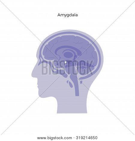 Vector Isolated Illustration Of Amygdala In Man Head. Human Brain Components Detailed Anatomy. Medic