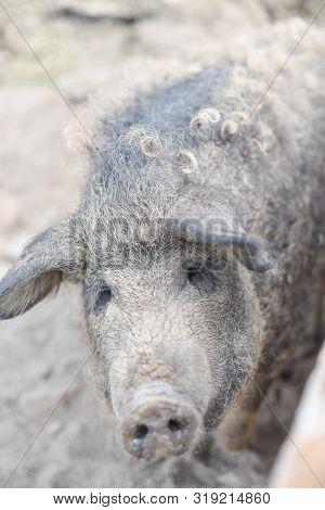 Happy Pig Rolling In Mud.mangalitsa The Woolly Sheep-pig, Healthy Environment And Organic Food Produ