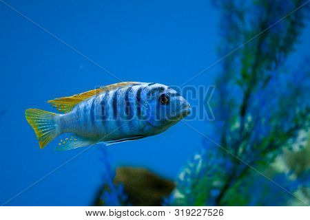 Exotic tropical fish from the warm ocean beautiful different bright colors purple Yellowfin surgeonfish Acanthurus xanthopterus closeup poster