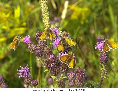 Folded-winged Skipper Butterflies Feeding On A Thistle At Yellowstone