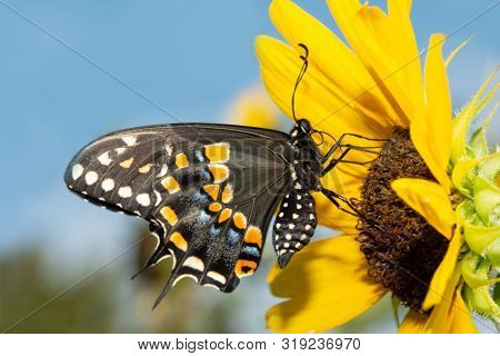 Black Swallowtail butterfly on a native wild Sunflower against blue sky