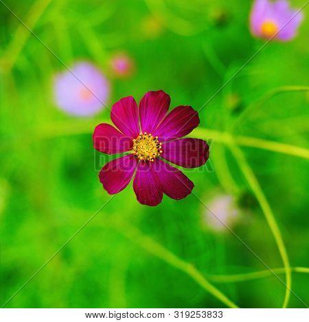 Violet Cosmos Bipinnatus Flower On A Blurred Green Background. Garden Flower - Cosmeya. Square Forma