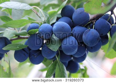 Prunus Spinosa. The Blackthorn Is Ripening In The Rural Garden. The Branch Of The Blue Plums. Organi