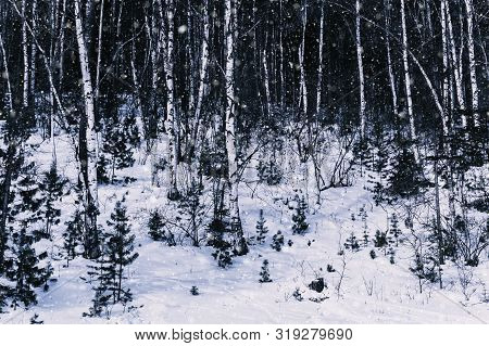 Winter Snowfall In Forest And Snow On Ground, Monotone Photo