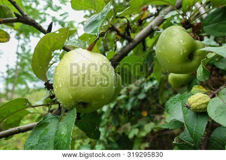 Green Apples Covered With Drops After Rain On An Apple Tree Branch