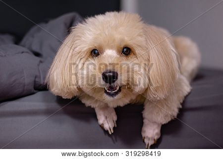 Puppy Poodle Dog, Cute White Poodle Dog In Black Bedroom