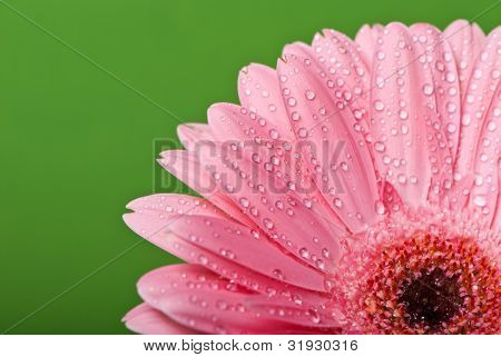Pink gerbera daisy flower on a green background