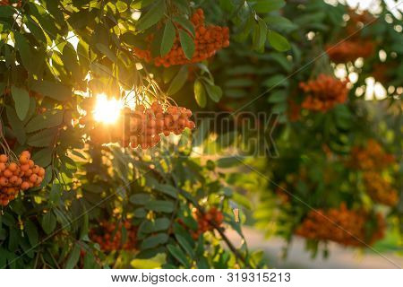 Rowan Branches In Sunset Light. Rowan Berries On Rowan Tree. Sorbus Aucuparia. Autumn Concept.