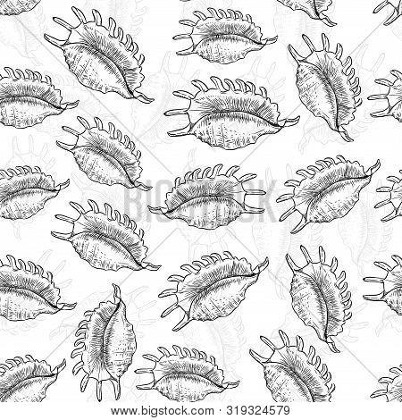 Lambis Spider Conch, Large Sea Snail, A Marine Gastropod Mollusk In The Family Strombidae, Conchs. U