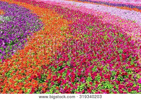 poster of Blossoming field of multicolored vibrant flowers