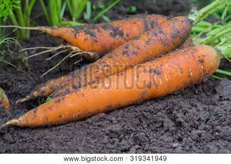 A Bunch Of Fresh Carrots With Herbs In The Garden. Big Juicy Unwashed Carrots In The Field, Harvesti