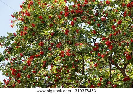 A Large Bush Of Red Mountain Ash With Many Berries Close-up. A Tree With Bright Rowan Berries. Green