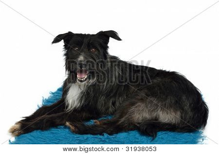 Dog lounging on furry carpet isolated