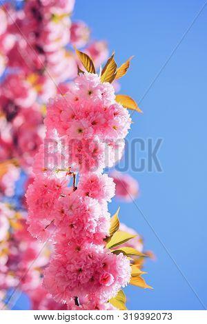 Cherry Blossom. Blossom Tree Over Nature Background. Sacura Cherry-tree. Spring Flowers. Spring Flow