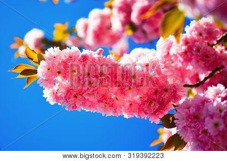 Cherry Blossom. Sacura Cherry-tree. Spring Background. Beautiful Garden Flowers. Cherry Blossom Fest