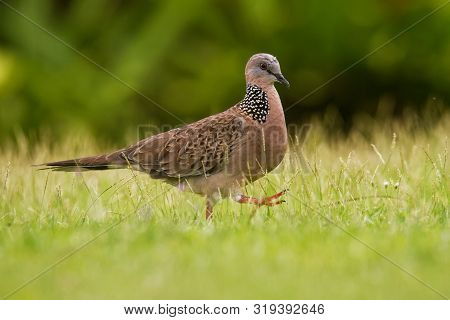 Spotted Dove - Streptopelia (spilopelia ) Chinensis Small Long-tailed Pigeon, Also Known As Mountain