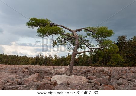 A Tree In Boulder Field At Hickory Run State Park, Pennsylvania.