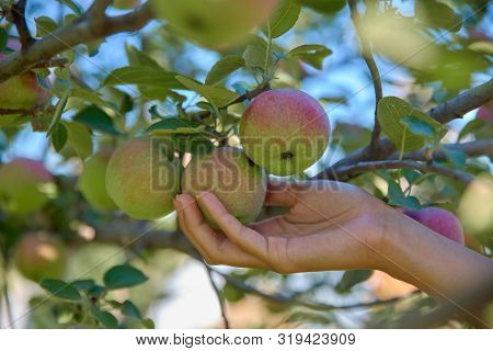 Close Up Shot Of Young Woman Hand Picking Fresh Organic Apple From Apple Tree In The Morning Orchard