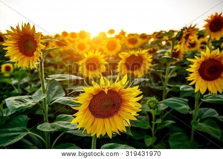 Close-up Of A Sunflower In A Field Against A Sunset.