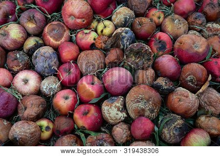 Autumn In Garden. Decomposing Red Apples Lies On Ground. Aging Concept. Agriculture Background. Top