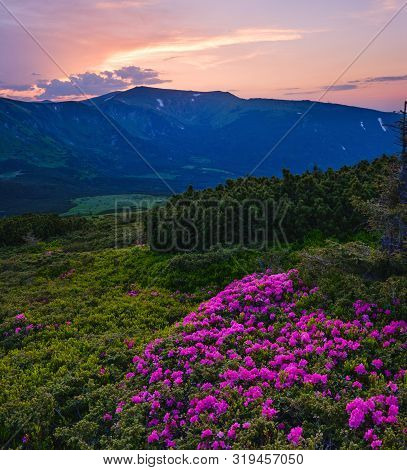Pink Rose Rhododendron Flowers On Summer Mountain Slope. Sunset. Evening Carpathians View, Chornohor